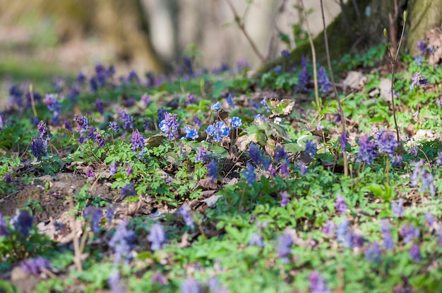 Spring flowers europe. noble mayflower hepanca nobilis