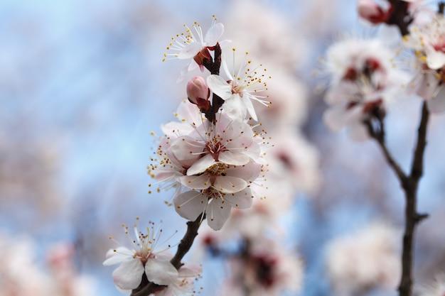 봄 꽃. 야외에서 살구 나무 꽃. 자연의 아름다운 배너