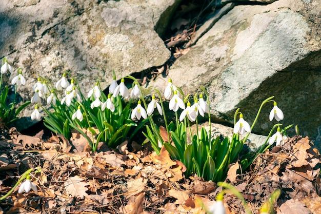 Весенние цветы галантус подснежники крупным планом пробились сквозь листву возле камня.