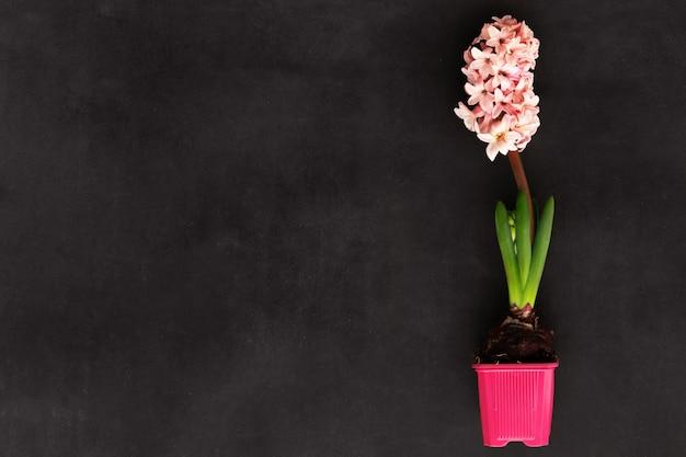黒に春の花ヒヤシンス。セレクティブフォーカス。上面図。