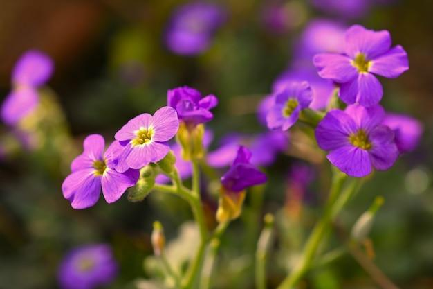 Весенние цветы в саду. фиолетовые цветы пламени флокса (phlox paniculata)