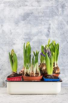 鉢植えの春の花。水仙、クロッカス、ヒヤシンス。