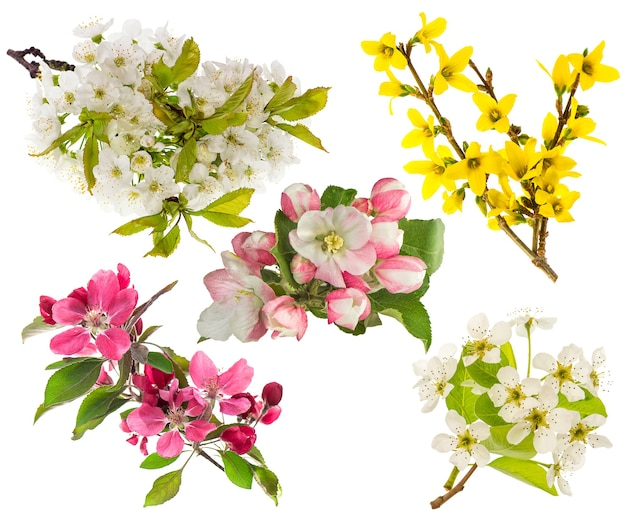Spring flowers isolated on white background. blossoms of apple and pear tree, cherry twig