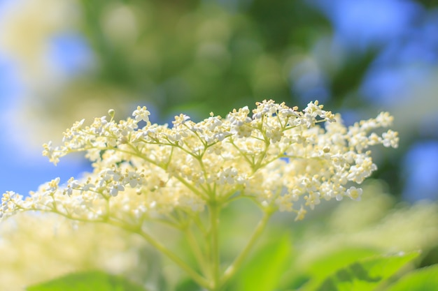 Spring flowers on the meadow, elderberry