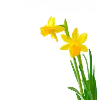白で隔離される春の花水仙