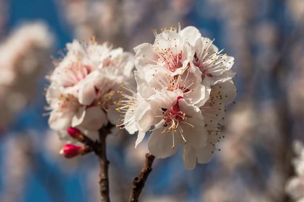 살구의 봄 꽃