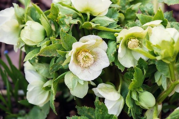 花壇にヘレボルスの春の花。セレクティブフォーカス