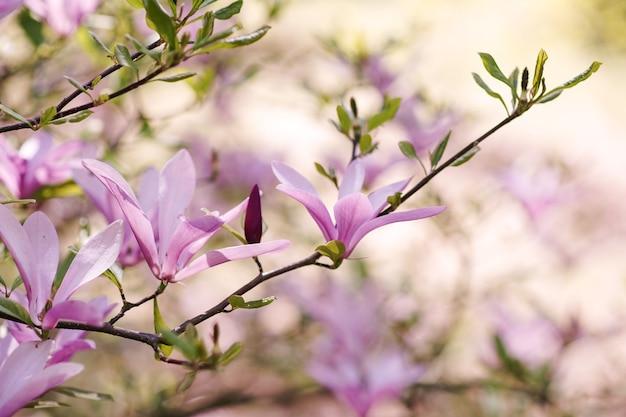 Весенние цветы магнолии на дереве в городском парке