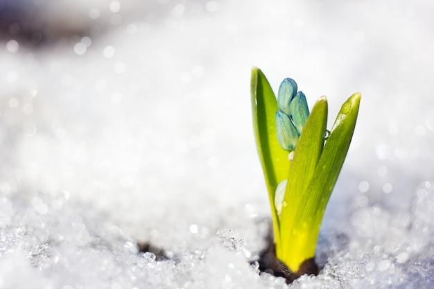 スノードロップの水滴と春の花