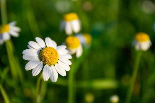 Весенние цветы. аптека ромашка в поле. белые ромашки в зеленой траве. зеленое поле с лекарственными растениями, предпосылка природы на весеннее время. макрофотография, выборочный фокус