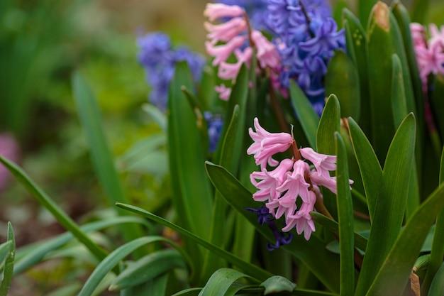 봄 꽃입니다. bokeh와 봄 배경입니다. 봄 정원에 화려한 히아신스 꽃이 피었습니다. 신선함, 부드러움, 봄의 아이디어와 개념