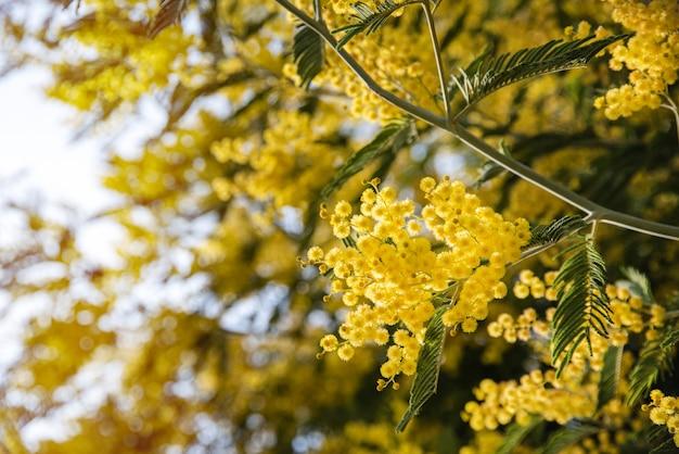 Весенние цветы. мимоза дерева на фоне солнца, концепция счастливого женского дня. макро и изображение крупным планом