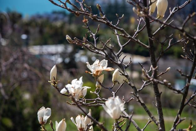봄 꽃. 중앙 공원에서 나무 하얀 목련 꽃입니다. 이미지를 닫습니다