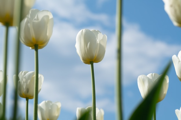 Spring flowers tulips. amazing white tulip flowers blooming in a tulip field.