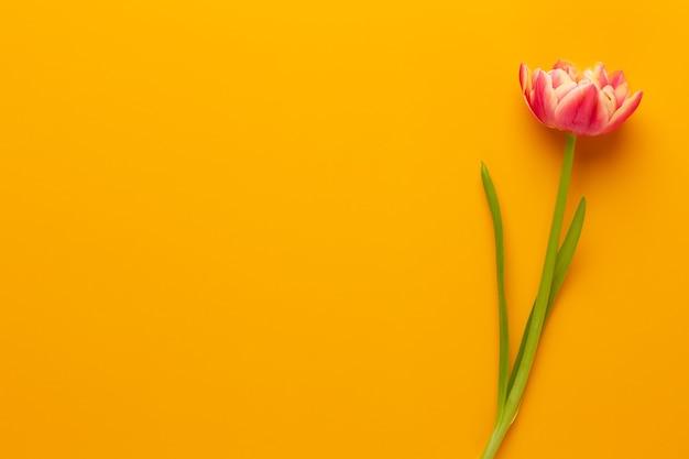 パステルカラーの背景に春の花チューリップ。