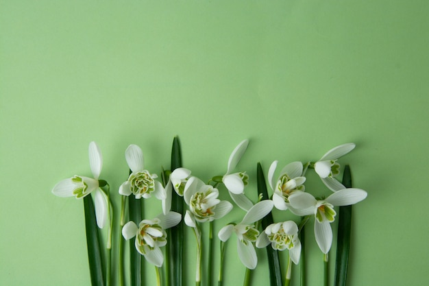 Spring flowers, white snowdrops over green background.