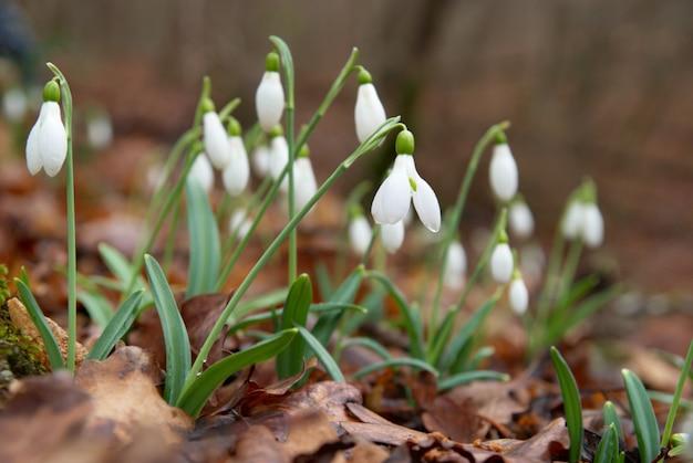 春の花-森の中の白いスノードロップ。ソフトフォーカス。