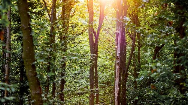 黄緑色の日の出の朝の春の森