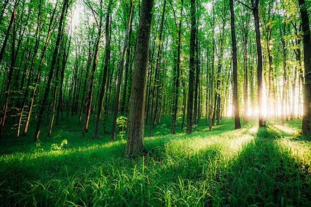 春の森の木。自然の緑の木の日光の背景。