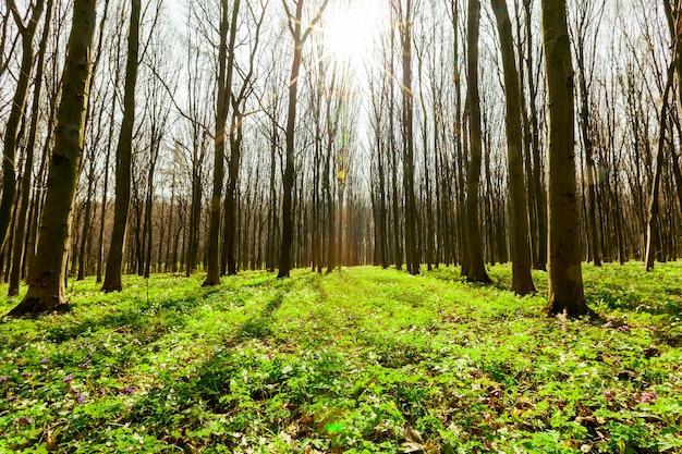 春の森の木。自然の緑の木の日光の壁。