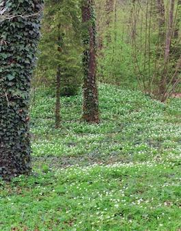 白いアネモネの花が咲く春の森