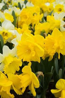オランダの庭で春の新鮮な黄色の水仙の花