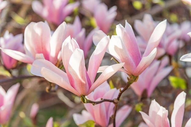 Spring garden: beautiful pink magnolia flowers in sunlight