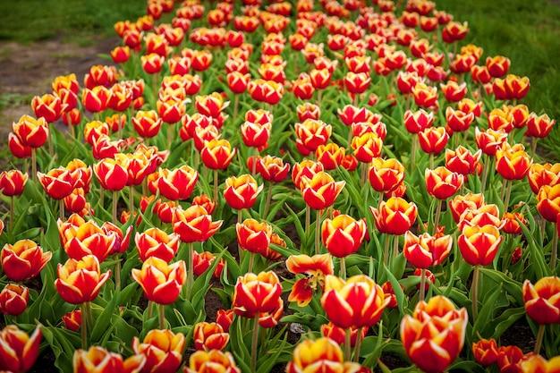 街の花壇に色とりどりのチューリップの春の庭。花壇のカラフルなチューリップ。庭の美しい春のチューリップ。チューリップのベッド