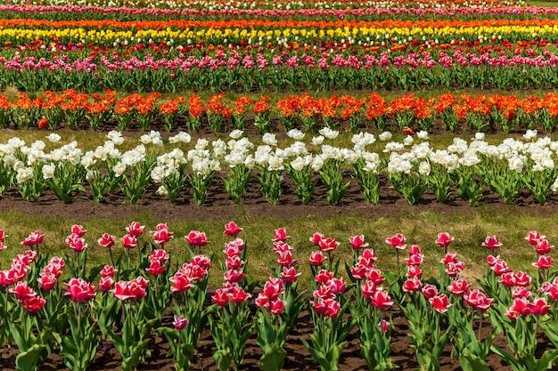 街の花壇に咲く色とりどりのチューリップの春の庭花壇に咲く色とりどりのチューリップ