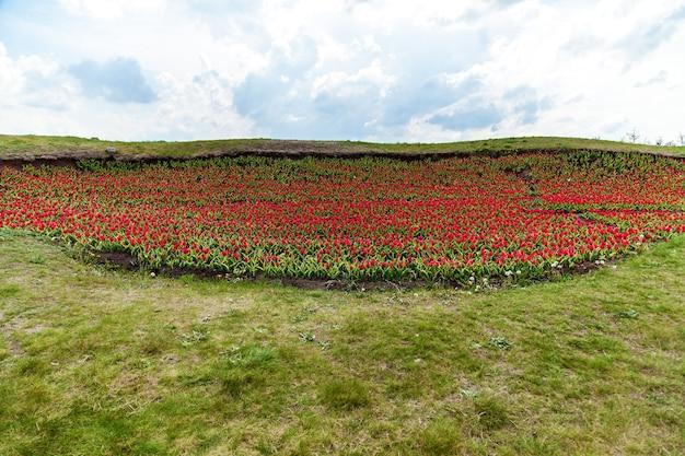 Весенний сад красных тюльпанов на клумбах в загородном доме. красочные тюльпаны в цветниках. красивые весенние тюльпаны в саду