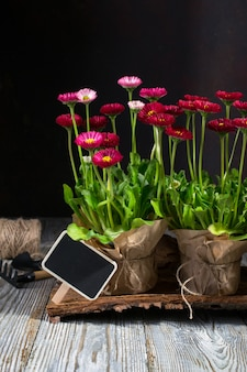 Spring garden works concept. gardening tools, flowers in pots and watering can on dark wooden table.