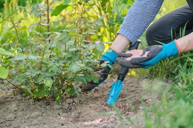 봄 정원 가꾸기, 정원 도구로 장갑을 끼고 일하는 여성 정원사는 장미 덤불 아래 미네랄 입자 비료로 토양을 비옥하게 합니다.