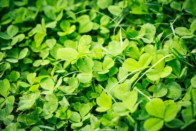 春の緑の背景。新鮮な草の小さな春の花。芝生の自然。