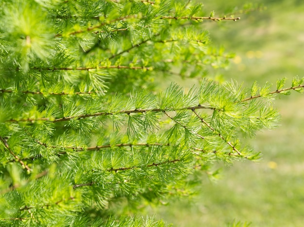 Spring green bright larch branches, close-up, green background