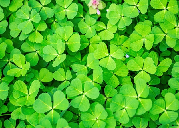 Весной зеленый клевер трава фон