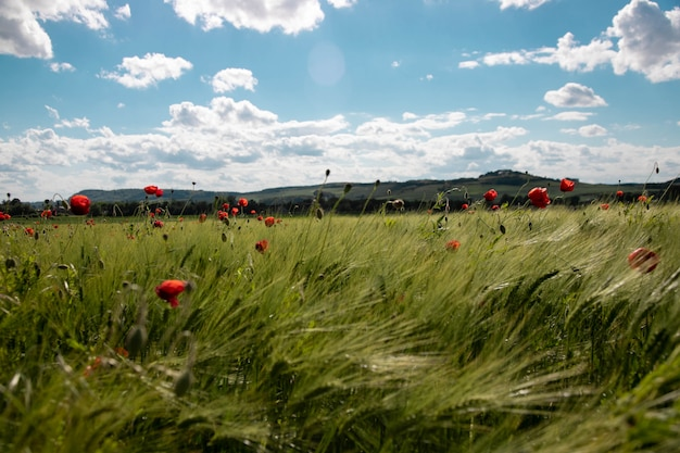 Spring green field of rye, spikes with bright red poppy flowers against the blue sky