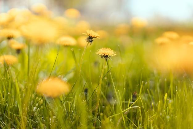 Весеннее зеленое поле с желтыми одуванчиками в солнечный день. длинный горизонтальный баннер с копией пространства. мягкий выборочный фокус