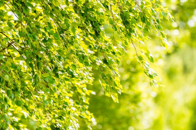 Spring green leaves of birch tree - wallpaper concept