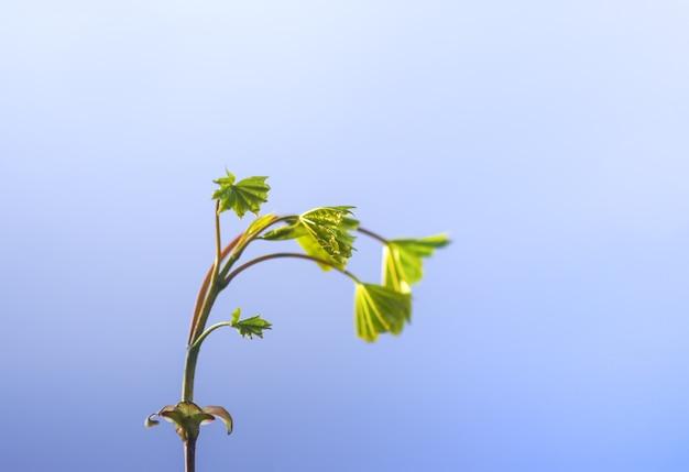 Весенние зеленые кленовые листья в солнечном свете на фоне голубого неба.