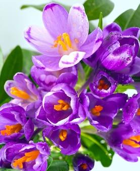 春休みクロッカスの花の背景(マクロ)