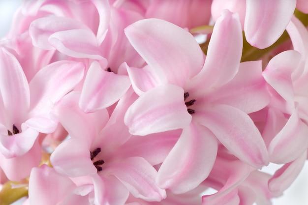 春の休日ピンクhyacinthus花の背景(マクロ)