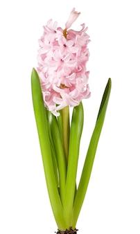 白い背景で隔離の春の休日ピンクのヒヤシンスの花