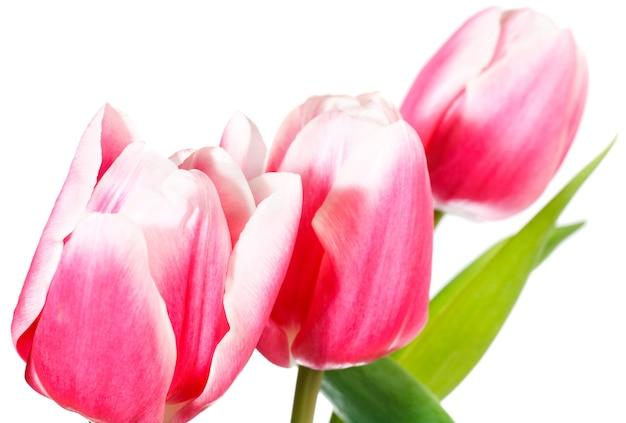春の休日ピンク-白いチューリップの花が白い背景で隔離