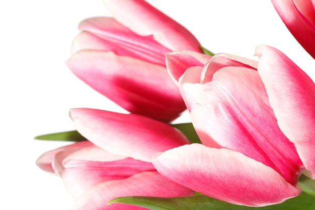 春の休日ピンク-白いチューリップの花は白い背景で隔離