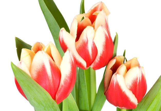 白い背景で隔離春の休日赤白チューリップの花