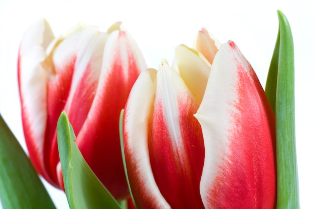 明るい背景の春休み赤白チューリップの花