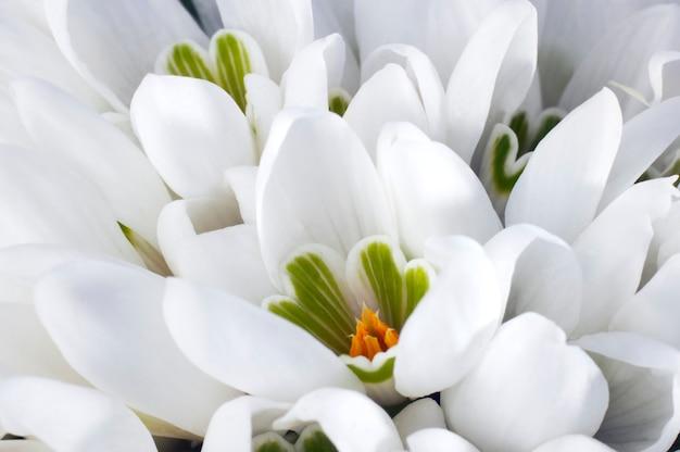 春休みスノードロップの花の背景(マクロ)