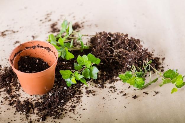 春の家の植物の植え替え。観葉植物移植組成物。土に横たわっている苗を取り除いたポット。