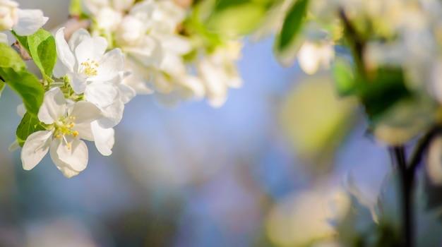 Весеннее горизонтальное фото с белыми цветами цветущей ветки яблони на размытом фоне, с местом для текста