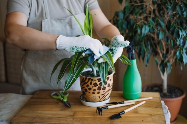 春の女性の手のために屋内植物を目覚めさせる春の観葉植物のケアは、葉をスプレーして洗います